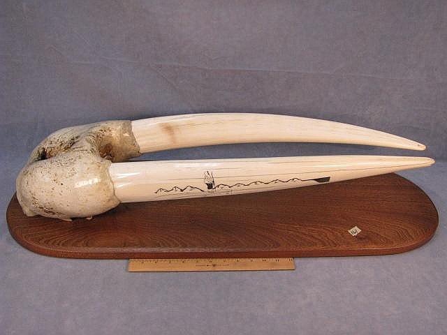 Huge Bull walrus head mount, tusks are probably