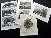 Australia, Cook Voyages (Aborigine & Natural History) C1780-1820 Group of 4 Copper Plates.