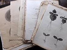 Thornton, Dr Robert John 1810 Lot of 60+ Botanical Anatomy Plates