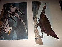 Audubon, John James (Amsterdam Edition) 1972 Large Bird Prints (3) Ivory Gull 287, Herring Gull 291, White Winged Silvery Gull 282