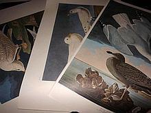Audubon, John James (Amsterdam Edition) 1972 Large Bird Prints (2) Red Throated Diver 202, Black Throated Diver 346