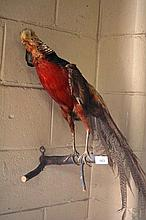 Taxidermy: a pheasant on wall mount natural