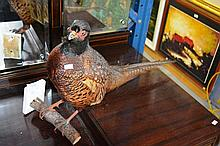 Taxidermy, a mounted pheasant on branch form