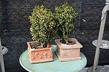 2 shrubs in terracotta pots