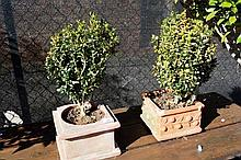 2 small shrubs in square terracotta