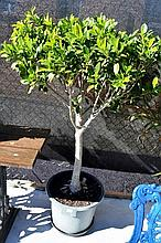 Pair of ficus trees in pots