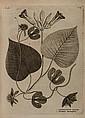 Burmann (Nicolaas Laurens) Flora Indica cui