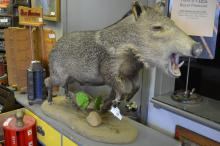 Mounted wild boar