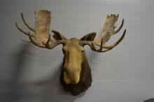 Mounted Moose Head 51