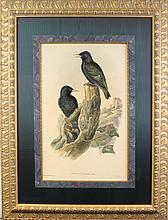 John Gould Black Bird