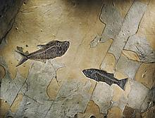 DOUBLE FOSSIL FISH PLAQUE