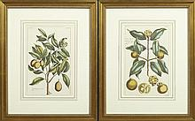 Pair of Hand Colored Botanical Prints, 19th c., of yellow fruits, framed, H.- 12 3/4 in., W.- 8 3/8 in.