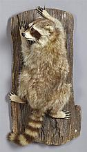 Taxidermied Raccoon, 20th c., mounted on a log, H.- 8 1/2 in., W.- 23 1/2 in., D.- 11 1/2 in.