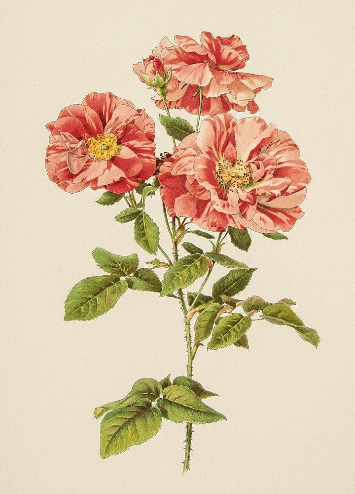 Willmott (Ellen Ann) - The Genus Rosa,