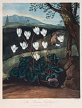 Thornton. William Elmes (fl. late 18th/early 19th - The Persian Cyclamen,
