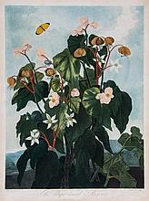 Thornton. James Caldwell (b.1739-) - The oblique-leaved Begonia,