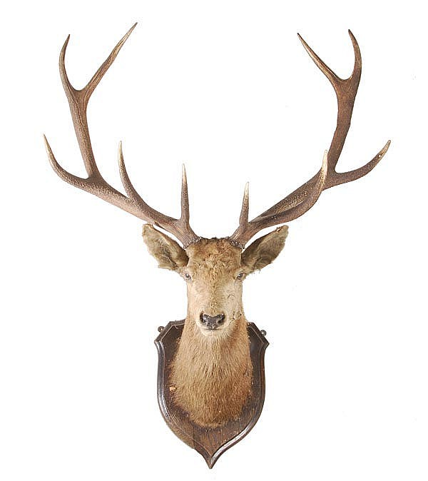 A preserved and mounted stag's head, with five