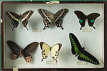 Collection of butterfly