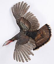Wild turkey mount with spread wings