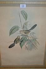 Pair of gilt framed hand coloured prints of birds by J. Gould and H.C. Richter, entitled ' Suthora Webbiana and Pratincola Leucura '