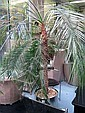 PALM TREE, of large proportions, approx 240cm H.