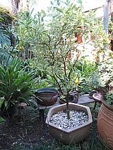 Terracotta pot with Cumquat tree