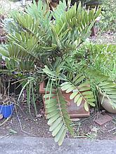 Cycad in square terracotta pot