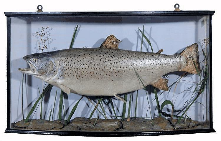 A PRESERVED BROWN TROUT displayed in a bow fronted