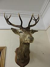 Antique Mounted Stags Head