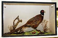 TAXIDERMY: a stuffed and mounted pheasant, in