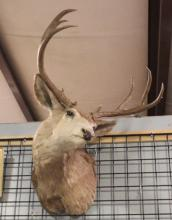 Mounted Bucks Head