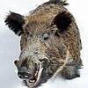 TAXIDERMY: EUROPEAN WILD BOAR - Shoulder mount male. Condition good. Late 20th century. 24