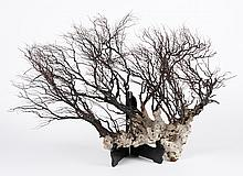 LARGE BLACK CORAL TREE - Likely a type of Gorgonian (Gorgonacea) black coral based on the smoothness of the outer skin. Seen here ar...