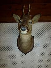 Taxidermy Dears Head