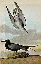 ~ BLACK TERN ~ John James Audubon Circa 1946