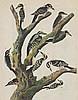 Audubon Woodpecker The Birds of America c.1946.
