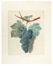 (BOTANICAL.) Brookshaw, George. Black Muscadine. Plate L.