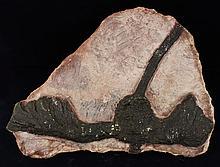 1078g Rare Scyphocrinites Crinoid Fossil