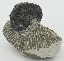 196g Preserved Tribolite Fossil On Base Material