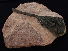 1226g Rare Scyphocrinites Crinoid Fossil