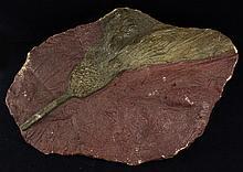 1704g Rare Scyphocrinites Crinoid Fossil