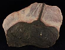 1049g Rare Scyphocrinites Crinoid Fossil