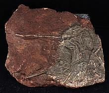 901g Rare Scyphocrinites Crinoid Fossil