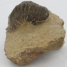 396g Preserved Tribolite Fossil On Base Material