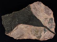 1660g Rare Scyphocrinites Crinoid Fossil