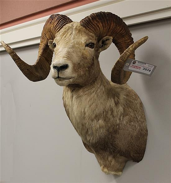 Gobi Argali Sheep, Mongolia. **This item can only be sold to a Pennsylvania resident.**