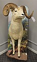 Dall Sheep Half Body Mount, Alaska.