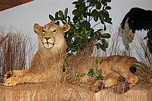 Lion Life Size Mount, unknown origin.
