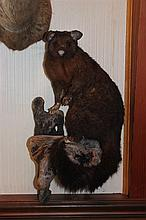 New Zealand Possum, hair loose Life Size Mount