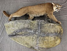 Mountain Lion Full Body Mount, Unknown Origin, (Loss to One Ear, Partial Damage to Rock)